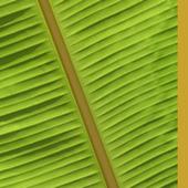 Ciencia y Desarrollo (PLATANO) | Platano-Banana (Musa Cavendishii) | Scoop.it