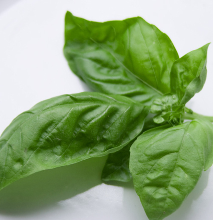 Cooking With Italian Herbs - Basil | Le Marche and Food | Scoop.it