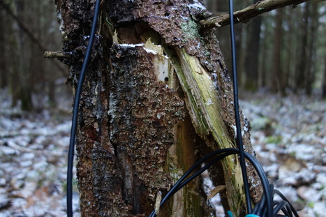 One Tree in a Forest: a field recording. | DESARTSONNANTS - CRÉATION SONORE ET ENVIRONNEMENT - ENVIRONMENTAL SOUND ART - PAYSAGES ET ECOLOGIE SONORE | Scoop.it