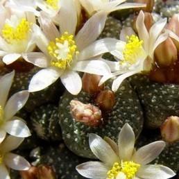 Blossfeldia liliputana (Cactus) Graines - Alsagarden | Jardinerie Alsagarden | Scoop.it