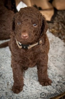 Facts  About the Curly Coated Retriever | Natural Pet Care | Scoop.it