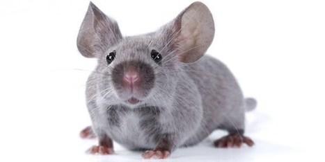 Pesquisadores descobrem como transformar memórias ruins em boas em ratos | neurociencia | Scoop.it