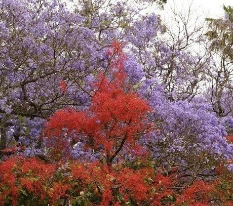 My Illawarra flame tree blooms! | Gardening | Scoop.it