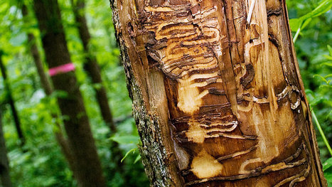 Ash Forests After Emerald Ash Borers Destroy Them | Suburban Land Trusts | Scoop.it
