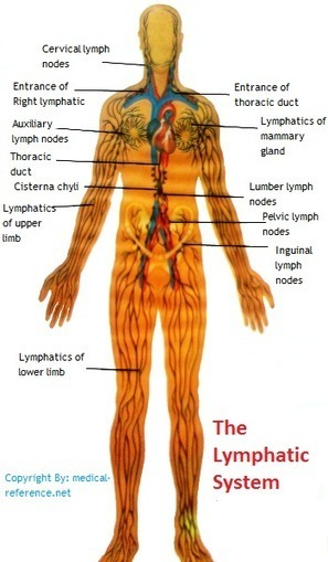 How does the lymphatic system work? | Anatomy | Scoop.it