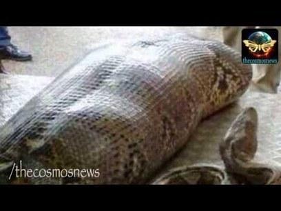 Python eats drunk man alive in India   Desi Talent Desi Gallan Hidden Talent of Punjab   Documentary Films   Scoop.it