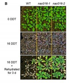 The Arabidopsis Transcription Factor NAC016 Promotes Drought Stress Responses by Repressing AREB1 Transcription through a Trifurcate Feed-Forward Regulatory Loop Involving NAP | Emerging Research in Plant Cell Biology | Scoop.it