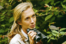 Jane Goodall Celebrates 50 Years of Conservation, Began with studying chimpanzees in Tanzania - Transcend | Wildlife and Environmental Conservation | Scoop.it
