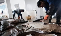 Sales of shark fin in China drop by up to 70% | Jennifer Duggan | Rhino Poaching & Wildlife Crime | Scoop.it