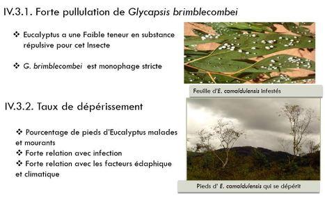 Causes entomologiques et cryptogamiques du dépérissement d'un eucalyptus à Madagascar | EntomoNews | Scoop.it