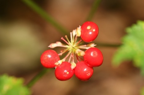 Wild ginseng in steep decline in Maryland, survey reveals: Q&A with Smithsonian botanist Christopher Puttock  | Smithsonian Science | Ethnobotany in the US Mid Atlantic | Scoop.it