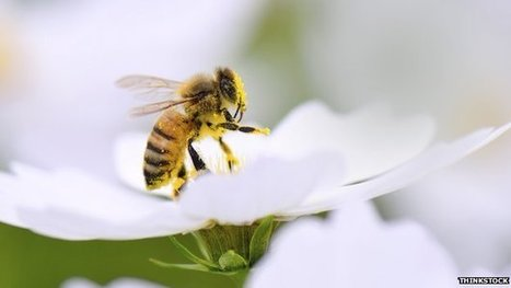 BBSRC/IPI mentions: Urban areas 'provide haven' for bees | BIOSCIENCE NEWS | Scoop.it