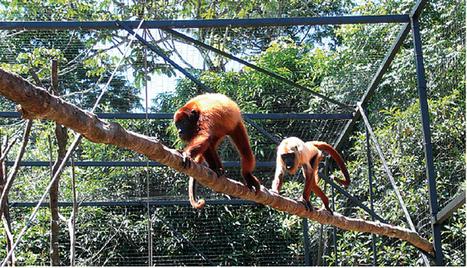 Le singe hurleur, le concertiste des forêts - FranceGuyane.fr | T'as la bannanne couzain ! | Scoop.it