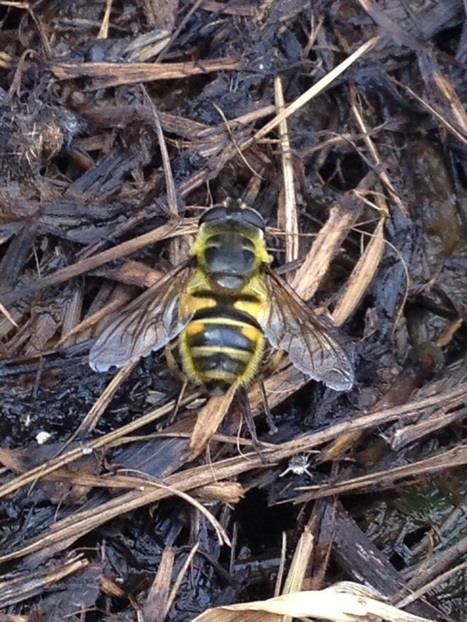Hoverfly Lagoons - The Buzz Club | The Amateur Ecologist | Scoop.it