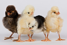Hatching Entrepreneurial Dream – Turning Chicken Fever into Profitable Business — Business Reinvention | Small and Start-up Business Tips and Resources | Scoop.it