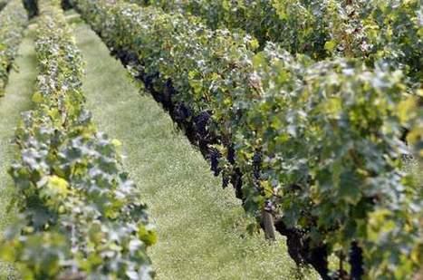 En pleine crise, les producteurs de beaujolais innovent sur le foncier   Le vin quotidien   Scoop.it