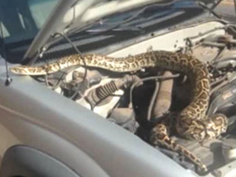 New Mexico driver finds large boa constrictor wrapped around truck engine | LibertyE Global Renaissance | Scoop.it