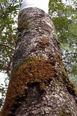 Australia's gum trees 'at risk' | Australian Plants on the Web | Scoop.it