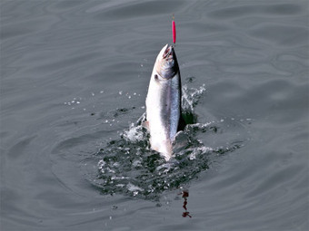 Banner Summer On Tap For Ocean Salmon Fishing   Food issues   Scoop.it