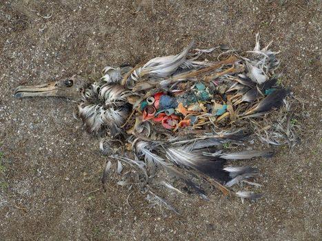 Pourquoi les oiseaux marins se gavent de plastique | Biodiversité & Relations Homme - Nature - Environnement : Un Scoop.it du Muséum de Toulouse | Scoop.it