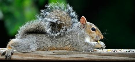 Faut-il sacrifier écureuils et ratons laveurs pour le bien de la planète? | Biodiversité | Scoop.it
