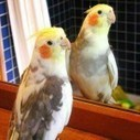 Information about Cockatiels as Pets | Pets Health | Scoop.it