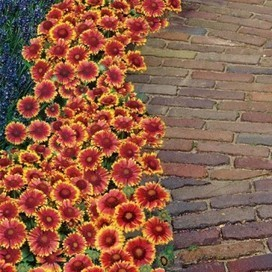 Arizona Sun Gaillardia | Springhill Nursery | Scoop.it