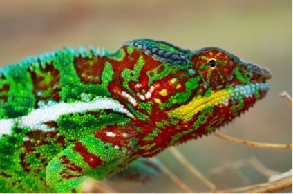 Chameleon reorganizes its nanocrystals to change colors | animals and prosocial capacities | Scoop.it