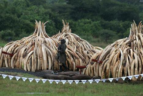 "Kenya Burns Over 100 Tons of Ivory Tusks to Protest Poaching (""ivory useless if not on elephants"") 