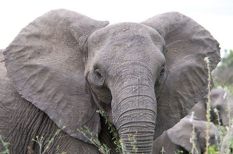 Science proves elephants are even smarter than we thought | enjoy yourself | Scoop.it