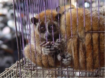 Lady Gaga, Slow Lorises and the Wildlife Trade   Wildlife Trafficking: Who Does it? Allows it?   Scoop.it