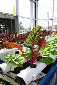Aquaponics - Wikipedia, the free encyclopedia | Wellington Aquaponics | Scoop.it