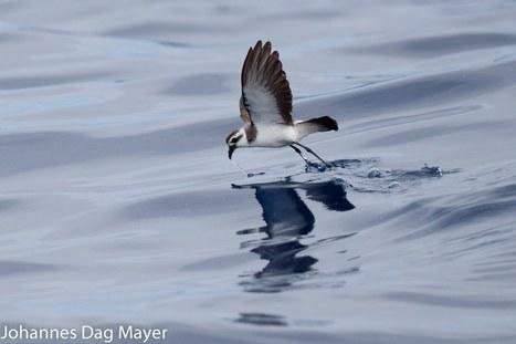 White-faced Storm Petrel:  Juvenile plumage   Bird ID   Scoop.it