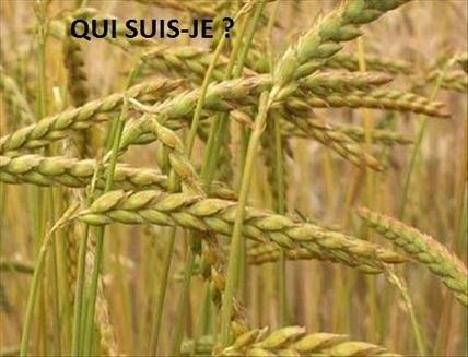 Epeautre et petit épeautre : l'ancêtre du blé - Plantes Medicinales   Santé par les plantes   Scoop.it