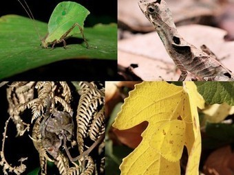 Nature Blows My Mind! Amazing leaf-mimicking animals | Freefire Nature | Scoop.it