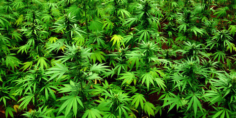 This Is Why Marijuana Should Be Legal Everywhere   Legalizing Marijuana   Scoop.it