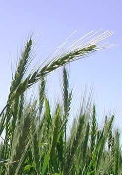 Timeline for evolution of wheat from the origin of plants - Annual Wheat Newsletter. | AnnBot | Scoop.it