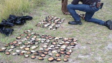 Illegal abalone fishers caught at Tura and Merimbula | Legal issues: Aquaculture and Fishing | Scoop.it