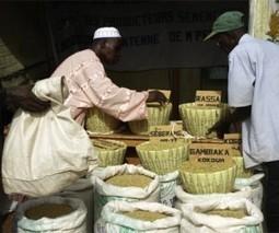 Industrie semencière : UN FORT POTENTIEL ENCORE INEXPLOITE - Mali Actualités | Kilométrage alimentaire | Scoop.it