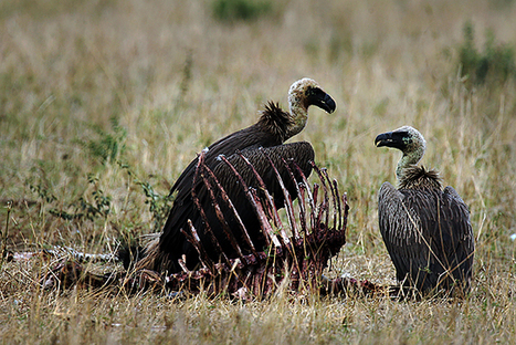 Poachers Are Killing Thousands of African Vultures to Hide Evidence of Their Crimes | Wildlife Trafficking: Who Does it? Allows it? | Scoop.it