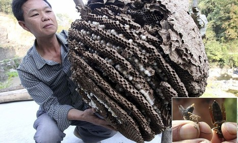 China goes to war with giant hornets that have claimed 42 lives   Rapid Environmental Services   Scoop.it