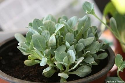 Huitre végétale – Comment la cultiver et idées recettes »   Bio, Santé et Bien-être   Scoop.it