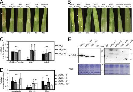 Allelic barley MLA immune receptors recognize sequence-unrelated avirulence effectors of the powdery mildew pathogen | Interaction, and more... | Scoop.it