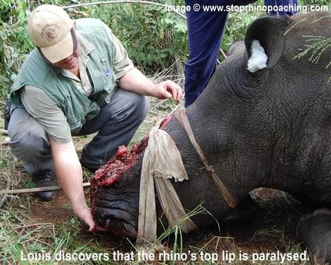 STOP RHINO POACHING NOW! | Impact on Wildlife | Scoop.it