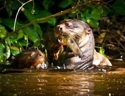 A pesar de datos alentadores, población de lobo de río en Tambopata sigue siendo crítica   Perú   Scoop.it