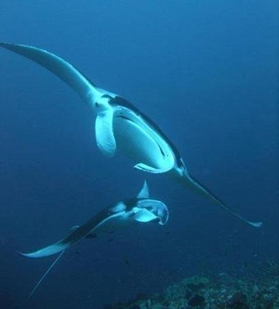 La raie Manta est le Panda des océans | Rays' world - Le monde des raies | Scoop.it