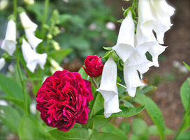 Off with their heads! (When and how to prune roses.) | The Dirt Diaries | Anything Goes in the Garden | Scoop.it