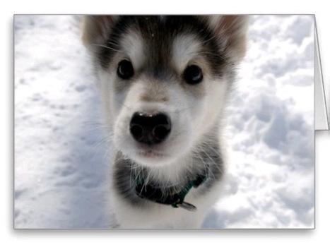 Husky Puppy   Husky Puppy   Scoop.it
