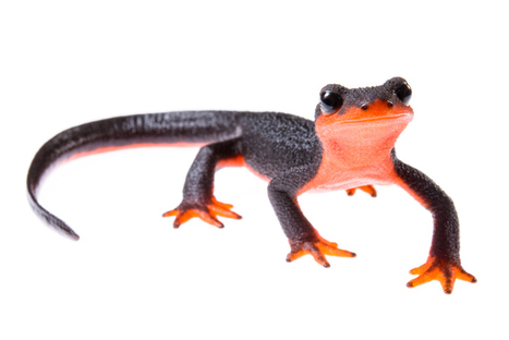 The Pandemic Ahead for North America's Salamanders and Forests | GarryRogers NatCon News | Scoop.it