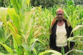 Kenya: Scientists make new findings on lethal maize disease | MAIZE | Scoop.it